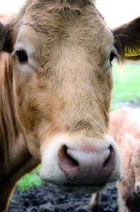 cow-84518