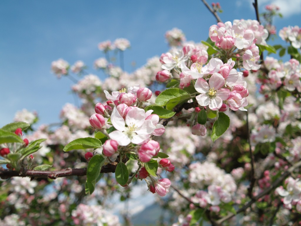apple-blossom-80334